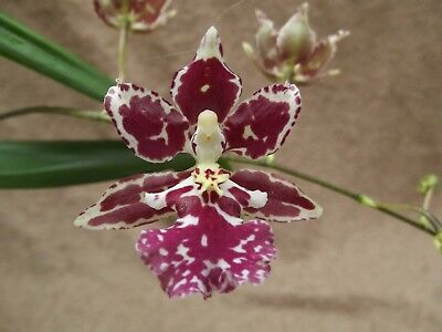 Rare Oncidium Nanboh Waltz `Boso Sweet` orchid plant FS, in bloom