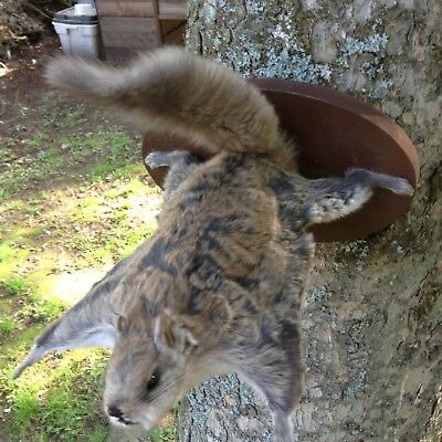 Great  Flying Squirrel Mount