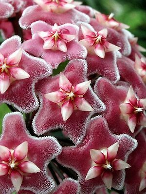 Hoya Pubicalyx Red Button Scented Wax Medium Plant In 9Cm Pot In Hinging Basket