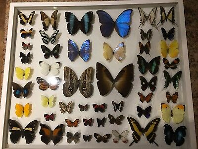 50 Real Butterflies of Peru Mounted in see-thru double paned glass, collection