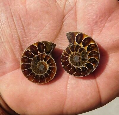 74.85 Cts Nicely 100% Natural Ammonite Mix Loose Gemstone  2Pcs