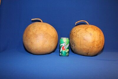 Lot of 2 Uniform Bushel Gourds - Medium Sized, Dried & Cleaned