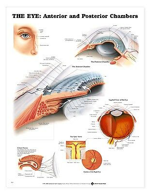 The Eye: Anterior & Posterior Chamber  * Anatomy Poster * Anatomical Chart Comp.