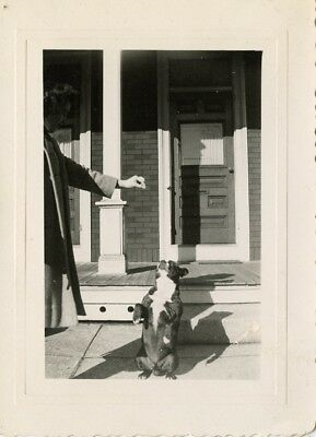 vintage Boston terrier dog begs for a treat from woman photo 80