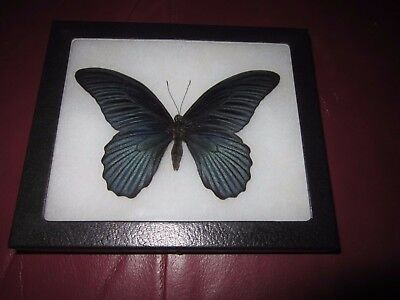 """real black papilio memnon  butterfly mounted framed 5 x 6"""" riker display #pl30"""
