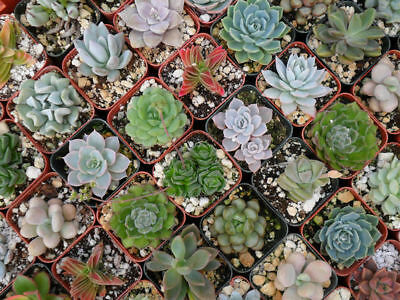 Rare Mixed Succulents Seed 100 Seeds Cactaceae Mini Potted Flower Bulk Seed S015