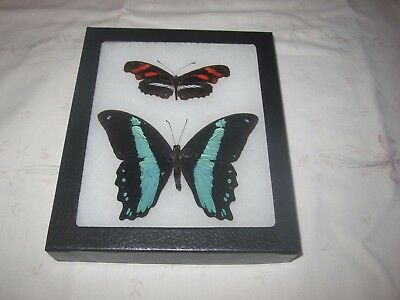 """2 real  butterflies  mounted framed 5x6"""" riker  #><3 heliconius papilio.."""