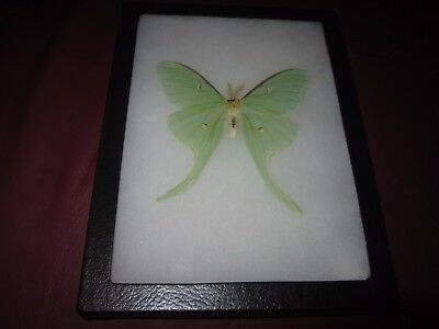 """real luna moth  butterfly mounted framed 6x8"""" riker display #awe707"""