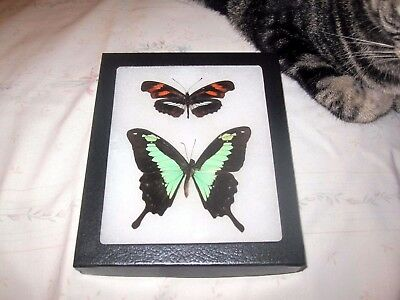 """2 real  butterflies  mounted framed 5x6"""" riker  #><9 heliconius papilio."""
