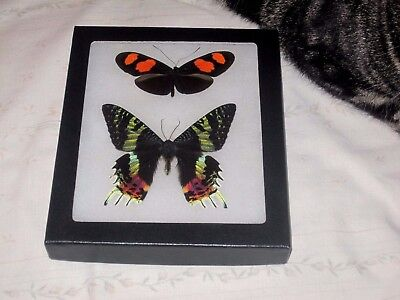 """2 real  butterfly moth  mounted framed 5x6"""" riker  #><29 heliconius urania"""