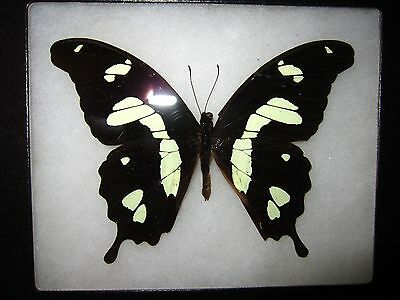 """real papilio hesperus butterfly from africa mounted  framed 5 x 6"""" riker  ##15"""