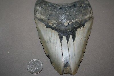 "MEGALODON Fossil Giant Shark Teeth All Natural Large 5.20"" HUGE BEAUTIFUL TOOTH"