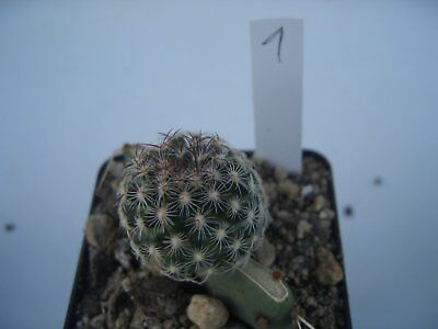 kakteen sclerocactus spinosior subsp blainei schlesseri. Black Bedroom Furniture Sets. Home Design Ideas