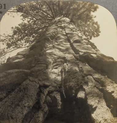 Keystone Stereoview Look Up a Sequoia, Natnl. Park From 1930s Scenic America Set