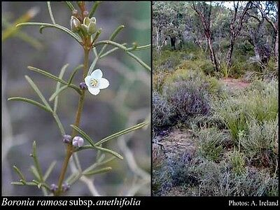 Blue Boronia (Boronia Ramosa  ) 20 Seeds