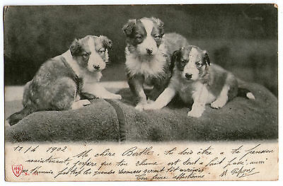 Cpa A68 Chien Nichee Chiot Pose Couverture Race Canine Type Epagneul Breton 1900