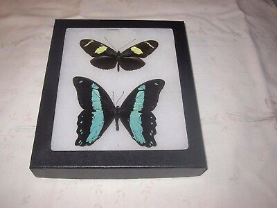 """2 real  butterflies  mounted framed 5x6"""" riker  #><4 heliconius papilio."""
