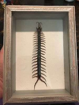 Scolopendra Morsitans  Asia Centipede Real Insect Fangs Taxidermy Bug Collection