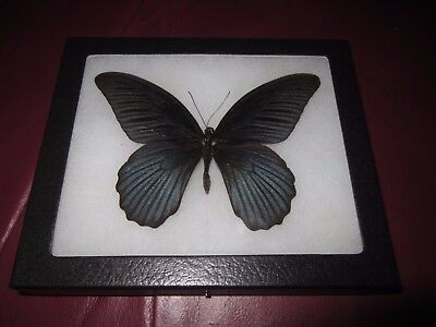 """real black papilio memnon  butterfly mounted framed 5 x 6"""" riker display #pl32."""