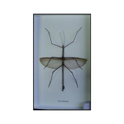 Real Bug Phasma Thai Insects Collection Taxidermy Framed Wooden Entomology X1
