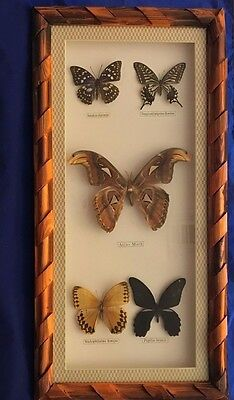 Mounted and framed Atlas Moth and four butterflies Japanese emperor butterfly