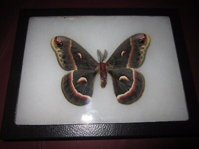 "saturniidae  cecropia butterfly moth mounted  framed 6 x 8"" display #pin18"