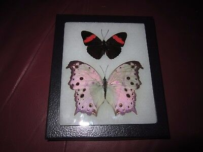 "2 real  butterflies  mounted framed 5x6"" riker salamas parhassus.  pin22"