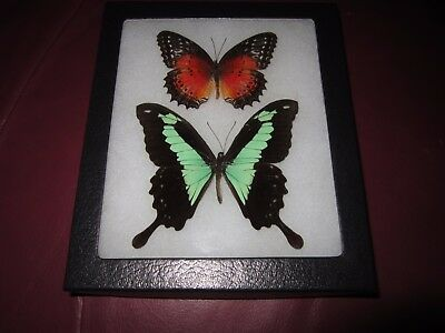 "2 real  butterflies  mounted framed 5x6"" riker papilio phorcus  pin26"