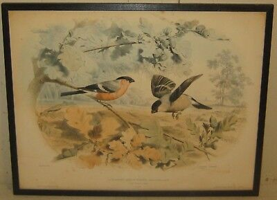 Antique 1857 EDOUARD TRAVIES 'Le Bouvreuil' BullFinches Finch Bird LITHOGRAPH