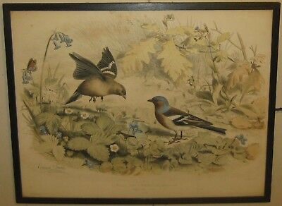 Antique 1857 EDOUARD TRAVIES 'Le Pinson' FINCH LITHOGRAPH - ORNITHOLOGY Print