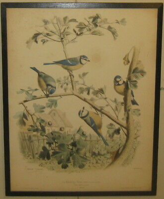 Antique 1857 EDOUARD TRAVIES 'La Mesange Bleu' Bluetit Chickadee Bird LITHOGRAPH