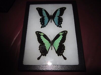 "2 real framed mounted phorcas and bromius butterflies in 6x8"" riker mount #pin41"