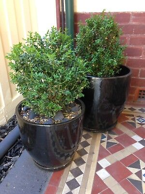 2 x English Box Hedge With Pot And Tray