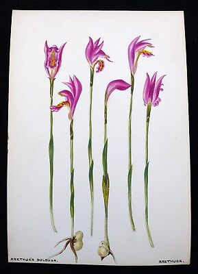Antique 1920s Watercolor Drawing Arethusa Orchid Flower Botanical Study