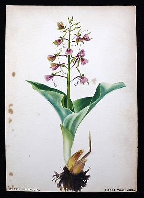 Antique 1920s Watercolor Drawing Large Twayblade Orchid Flower Botanical Study