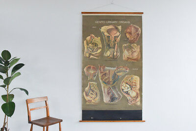 Vintage Large Genito Urinary Anatomical Anatomy Poster Chart