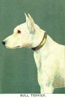 Bull Terrier Dog  1904  8 New Large Note Cards