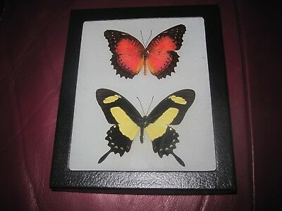 """2 real  butterflies  mounted framed 5x6"""" riker  display #awesome101 ."""