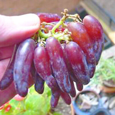 50Pcs Rare Finger Grape Seeds Advanced Fruit Natural Growth Delicious Balcony ER
