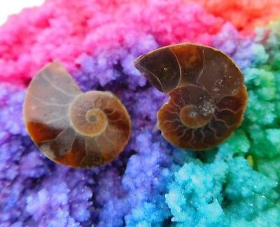 21 Cts. 100% Natural Matched Pair Of Ammonite Shell  Mineral Specimen (NH104)