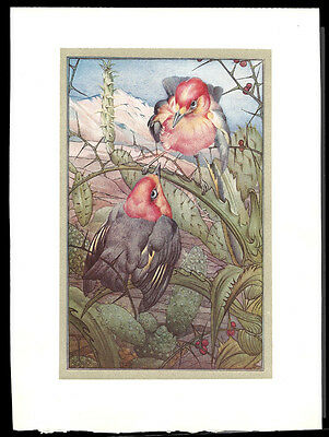 ANTIQUE  Robin Birds ~ 1912  E J Detmold Print Beautiful Lithograph