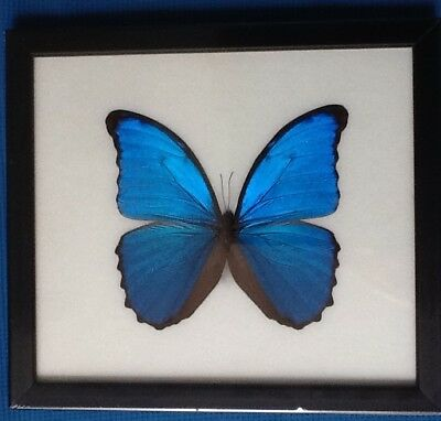 Real Big Didius Blue Morpho Butterfly Taxidermy Framed Insect Entomolgy