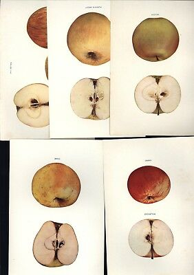 LOT OF 5 APPLE PRINTS - APPLES OF NEW YORK - VINTAGE LITHOGRAPHS - c1905!