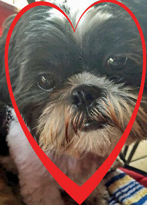 Shih Tzu Dog Valentines Day Card From The Cutest Valentines Day Shihtzu Pup Fo
