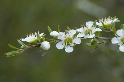 Tantoon (Leptospermum polygalifolium) 200  Seeds
