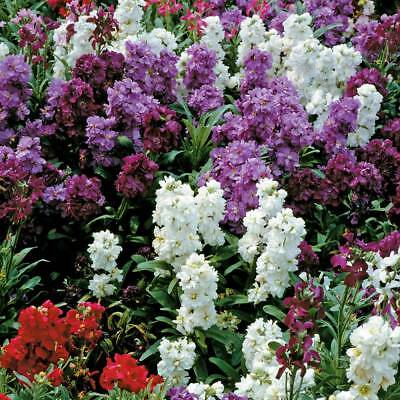 Real 100pcs Stock Matthiola incana mixed colors flower seeds Gillyflower