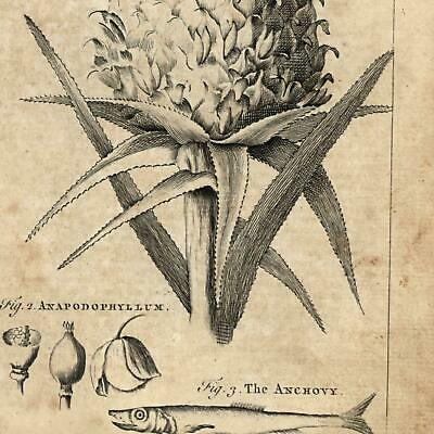 Pineapple Ananas Anchove 1754 Thomas Jefferys uncommon engraved print