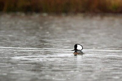 Duck Hooded Merganser DIGITAL PHOTO, Original Picture, 1 Day Email Delivery