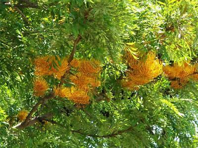 Silky Oak (Grevillea robusta) 20 Seeds