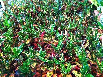 CROTON - GOLD Dust - Live Plant - Well Rooted Plant - 5 To 7 Inches